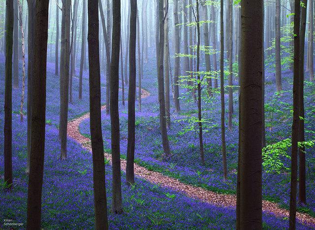 La forêt de Halle, Belgique